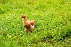 Pollo corriente en hierba verde Foto de archivo