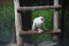 Pollo crestato Fotografie Stock Libere da Diritti