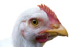Pollo curioso fotos de archivo