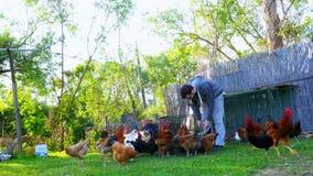 Pollo d'alimentazione dell'uomo caucasico dell'agricoltore, pulcino che mangia l'esca dell'alimento video d archivio