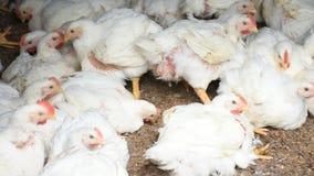 Pollo da carne o del pollo nell'agricoltura di poration del evap archivi video