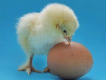 Pollo dal pollo Immagini Stock