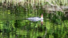 Pollo de agua común Hen Swimming en una charca fotografía de archivo