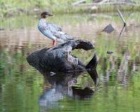 Pollo de agua común Hen Swimming en una charca Imagenes de archivo