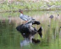 Pollo de agua común Hen Swimming en una charca Foto de archivo