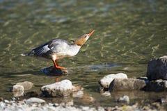 Pollo de agua común (pollo de agua del Mergus) Foto de archivo libre de regalías