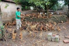 Pollo de alimentación del granjero vietnamita por el arroz Foto de archivo
