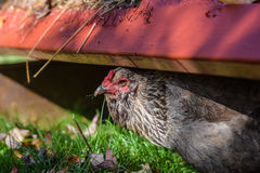 Pollo de Ameraucana, también conocido como el pollo del huevo de Pascua Fotografía de archivo