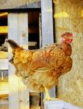 Pollo de Brown Imagenes de archivo