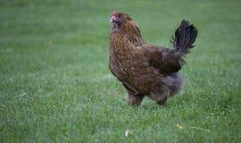 Pollo de Brown Fotografía de archivo libre de regalías