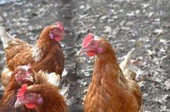 Pollo de Brown Imagen de archivo libre de regalías