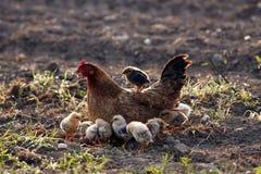 Pollo de Brown con los pequeños polluelos Foto de archivo libre de regalías