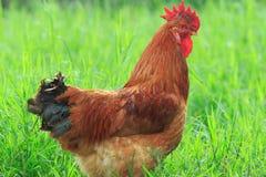 Pollo de Brown que se coloca en el campo de hierba verde Imagen de archivo