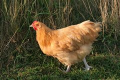 Pollo de color de ante de Orpington Fotografía de archivo libre de regalías