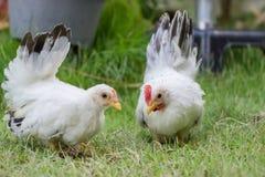 Pollo de dos blancos Fotos de archivo
