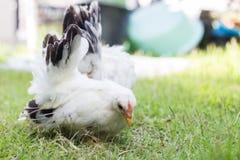 Pollo de dos blancos Foto de archivo libre de regalías