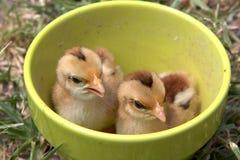 Pollo del bebé Fotos de archivo