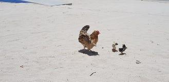 Pollo 2 de la arena imágenes de archivo libres de regalías