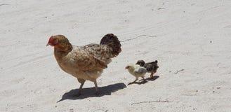 Pollo de la arena imagen de archivo libre de regalías