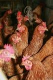 Pollo de la granja en la casa rústica Imágenes de archivo libres de regalías
