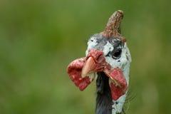 Pollo de la Leghorn fotografía de archivo