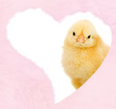 Pollo de las tarjetas del día de San Valentín dentro del corazón rosado mullido Fotografía de archivo libre de regalías