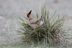Pollo de pradera que se coloca en la planta de la yuca de la pradera Imagen de archivo