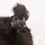 Pollo de Silkie en gallinero Imágenes de archivo libres de regalías