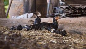Pollo de Tailandia Fotografía de archivo libre de regalías