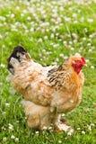 Pollo decorativo en campo Fotos de archivo