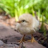 Pollo del bambino Immagini Stock