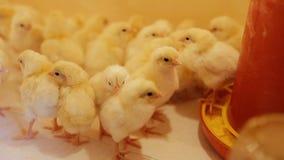Pollo del bambino, piccoli e molto bei sull'azienda agricola di pollo archivi video