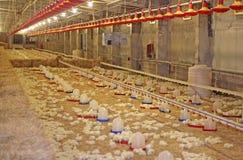 Pollo del bambino sull'azienda agricola Fotografie Stock