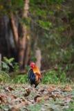 Pollo del bantam Fotografia Stock Libera da Diritti