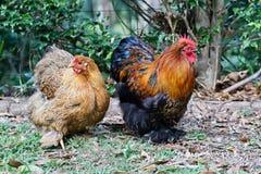 Pollo del bantam del cortile Fotografie Stock Libere da Diritti