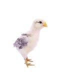 Pollo del bebé Foto de archivo libre de regalías