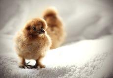Pollo del bebé Fotografía de archivo libre de regalías