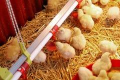 Pollo del bebé Fotos de archivo libres de regalías