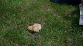 Pollo del bebé asustado y solo en hierba almacen de video