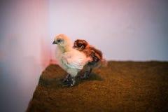 Pollo del bebé, blanco y marrón en un cuarto blanco Imagen de archivo