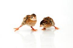 Pollo del bebé de las aves de Guinea Fotos de archivo