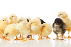 Pollo del bebé en blanco Imagenes de archivo