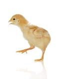 Pollo del bebé en el movimiento fotos de archivo