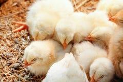 Pollo del bebé en granja avícola foto de archivo libre de regalías