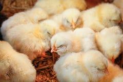 Pollo del bebé en granja avícola fotos de archivo libres de regalías