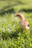 Pollo del bebé en hierba Fotos de archivo