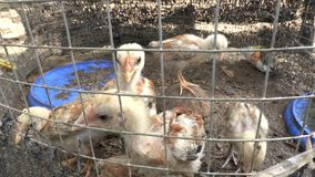 Pollo del bebé en la jaula almacen de video
