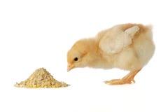 Pollo del bebé que tiene una comida Fotos de archivo libres de regalías