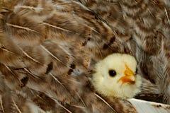 Pollo del bebé Snuggled en plumas Fotos de archivo