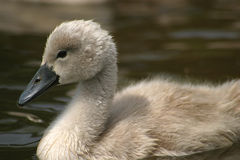 Pollo del cisne imagenes de archivo